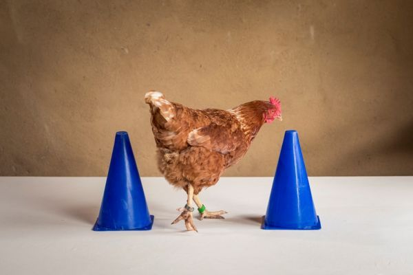 Chicken Camp module 2: Training plans and training criteria