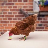 chicken camp Module 1