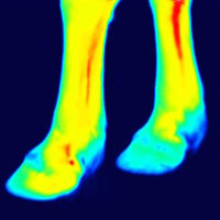 thermography of front legs after the training session