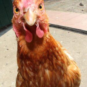 Einsteigerseminar Hühnerclickern