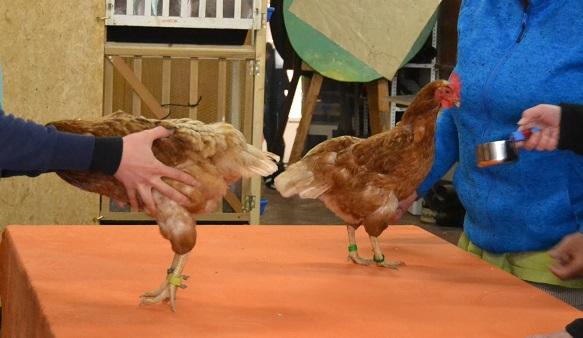 Hühnereinsteigerseminar