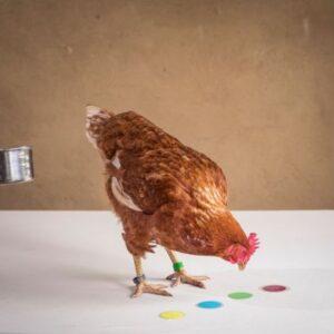 Hühnerseminar Modul 1
