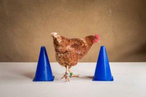Hühnerseminar Modul 2