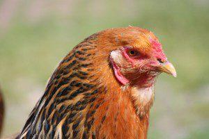 Hühnerseminare im Norden