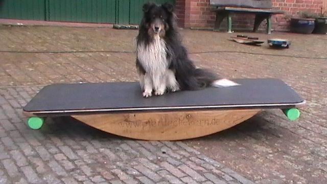 Hund Einstein auf einer Ganzkörperwippe