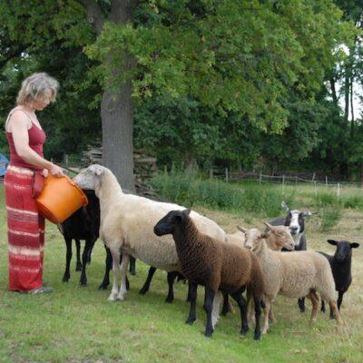 Ninas Schafherde bei der Fütterung