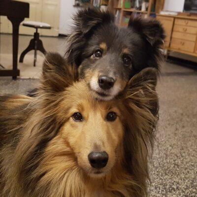 Shetlandsheepdog Einstein und sein Freund Jupiter